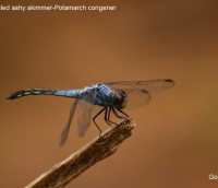 Yellow tailed ashy skimmer